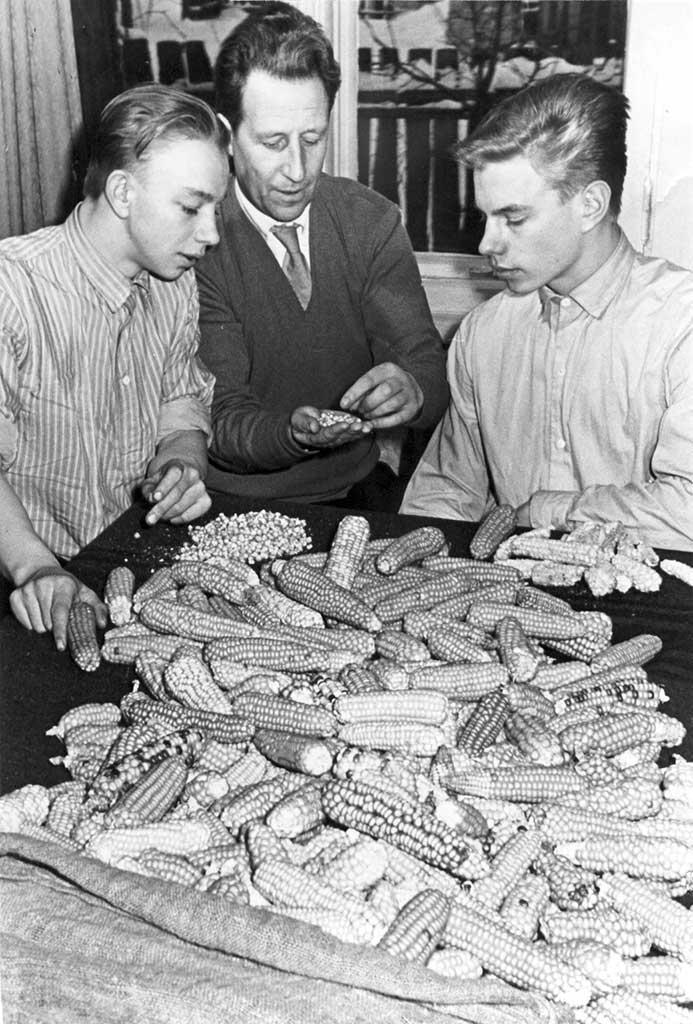 «Räpina maisi» siimnide valiminõ sordiarõtusõs 1961. aastagal